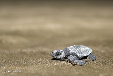 یک لاک پشت دریایی در اکوادور