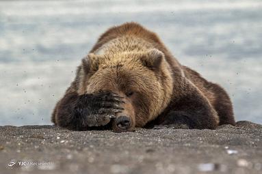 Brown Bear. Location of shot: Alaska