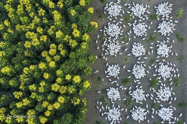 غذا خوردن غازها در نزدیکی درختان طلایی در حال شکوفه در چین