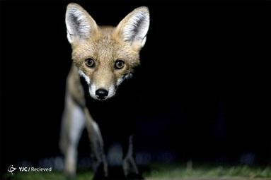 یک روباه در باغ بروکسل