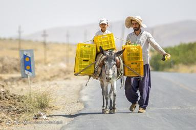 تولید شیره و کشمش در ملایر