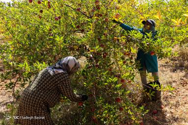 برداشت سیب درختی در باغات سمیرم توسط کارگران