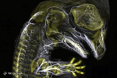 جنین تمساح در حال رشد اعصاب و اسکلت توسط دانیل اسمیت پارودز و دکتر باارت-آنجان س. باهول