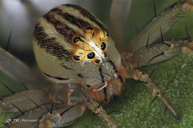 عنکبوت ماده Oxyopes dumonti (سیاهگوش) توسط آنتوان فانک