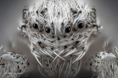 عنکبوت موی کوچک سفید ،توسط خاویر روپرز