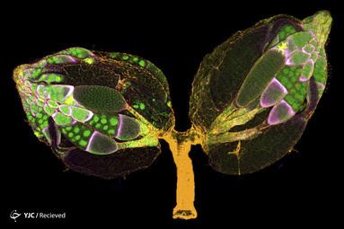 یک جفت تخمدان از یک ماده دروزوفیلا بالغ که برای F- اکتین (زرد) و هسته (سبز) رنگ آمیزی شده است. سلول های فولیکول توسط GFP (magenta) توسط دکتر Yujin Chen و دکتر Jocelyn McDonald