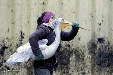یک باغ وحش حامل یک pelican برای انتقال آن به محوطه زمستانی خود در باغ وحش Dvur Kralove در Dvur Kralove nad Labem ، جمهوری چک