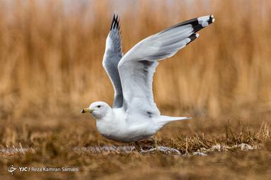 ورود پرندگان مهاجر به تالاب گندمان