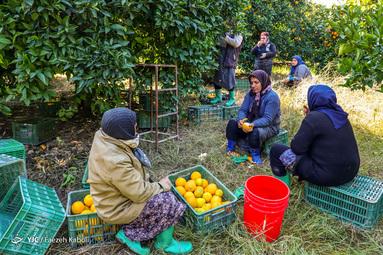 برداشت پرتقال در گلستان توسط کارگران فصلی