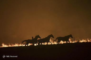 وحشت اسب ها بخاطر آتش سوزی در نزدیکی کانبرا، استرالیا