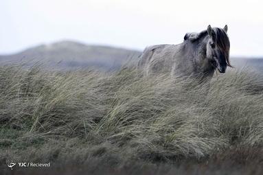 یک اسب در جزیره شمالی Texel در هلند