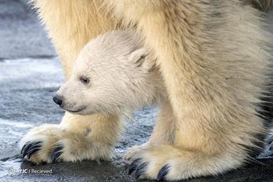 توله خرس قطبی در اولین حضور عمومی خود در باغ وحش Schnnbrunn در وین، اتریش