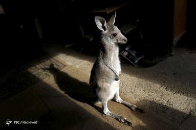 کانگوروی نجات یافته از آتش سوزی جنگل های استرالیا