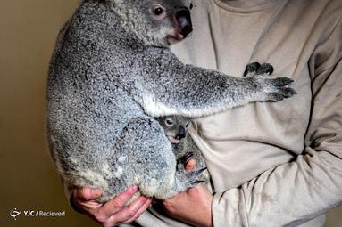 نگهداری کوالا در باغ وحش لیسبون