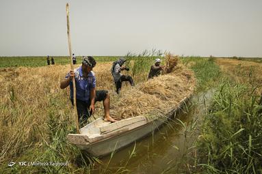 برداشت گندم در مزارع زیر آب