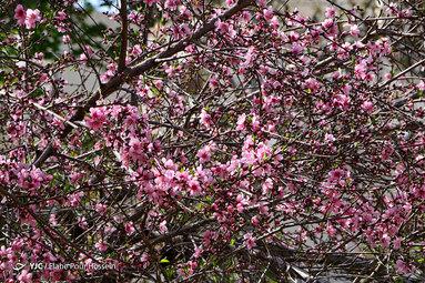 شکوفه های بهاری در شیراز