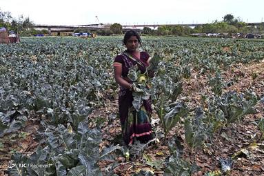 سوشما موریا یک کارگر در مزرعه سبزیجات در دهلی نو است. او می گوید که کشاورزی تنها کاری است که بلد است و کشاورزان باید کار خود را ادامه دهند تا مردمی که در شهرها زندگی می کنند سبزیجات تازه دریافت کنند