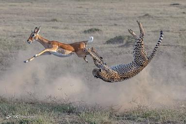سرعت و استراتژی: برنده حیات وحش زمینی. یی لیو / BigPicture مسابقه عکاسی جهان طبیعی
