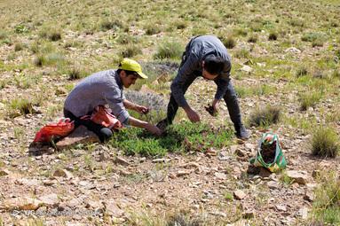 برداشت گیاهان دارویی در ارتفاعات شهرستان سامان