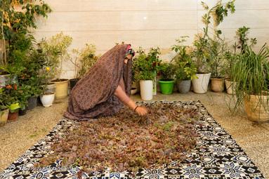تمیز کردن گیاهان داروییچیده شده از ارتفاعات شهرستان سامان
