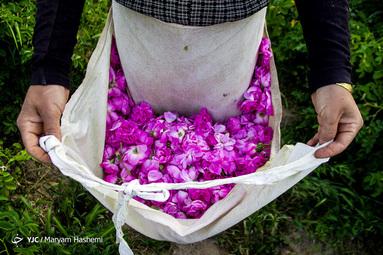 برداشت گل محمدی در شهرستان ساوجبلاغ