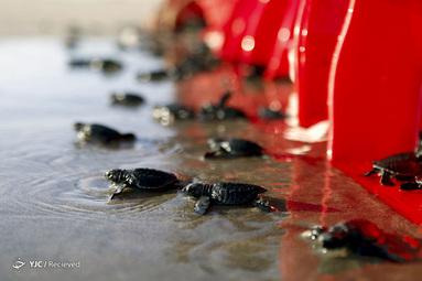 آزاد شدن لاک پشت های کودک در بالی، اندونزی در اقیانوس
