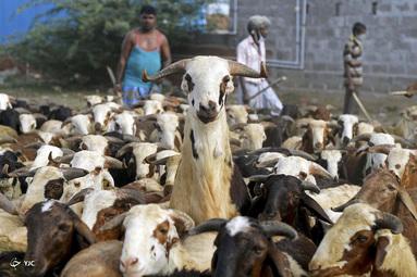 فروشندگان دامدر مراسم عید قربان در چنای هند