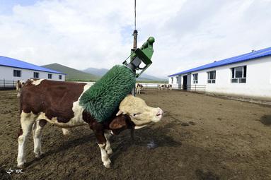 یک گاو از یک خراشنده خودکار در Chifeng مغولستان