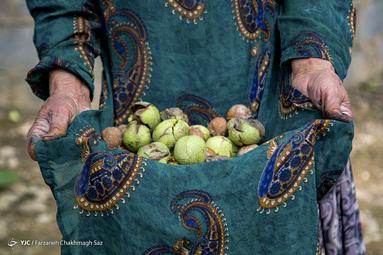 برداشت گردو - باغات کهکران شهرستان سپیدان استان فارس