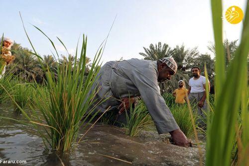 گران قیمتترین برنج جهان کجا کشت میشود؟ + تصاویر