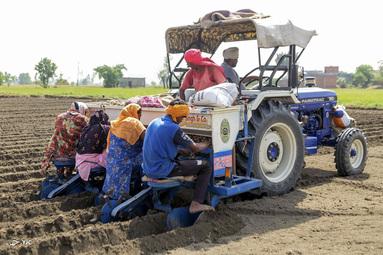 کارگران مزرعه سیب زمینی در حومه آمریتسار، هند