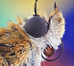 نمای نزدیک پروانه بوگونگ