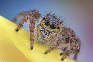 یک عنکبوت پرنده (Salticidae)
