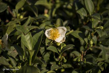 برداشت پاییزه برگ سبز چای از باغات شفت - استان گیلان