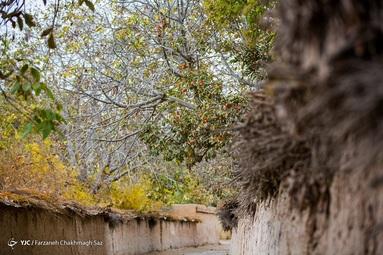 رسیدن میوه درختان خرمالو در حاشیه شهر شیراز و برداشت آن توسط کارگران در اواخر آبان انجام می شود