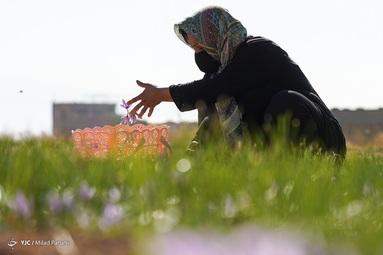 در میانه فصل پاییز زعفران شهر سروستان مورد بهره برداری قرار میگیرد