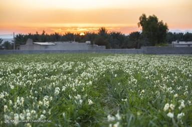 برداشت گل نرگس از نرگس زارهای کازرون - استان فارس
